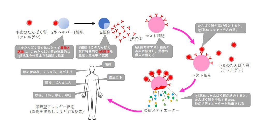 アレルギーの仕組み