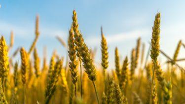 小麦アレルギー、セリアック病、ノンセリアックグルテン過敏症の違い